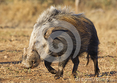 Bushpig in daytime, South Africa