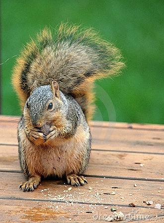 bushy tailed squirrel eating stock photos image 1199093
