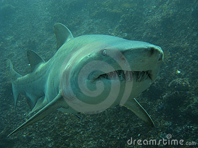 Business end of a grey nurse shark
