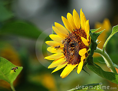 Busy Bee and Sunflower