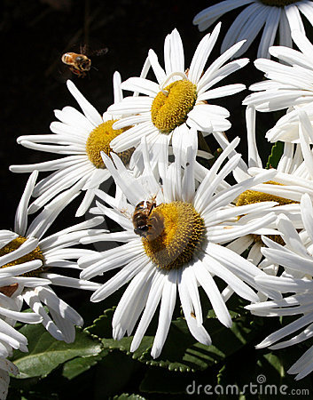 Busy bees on daisys.