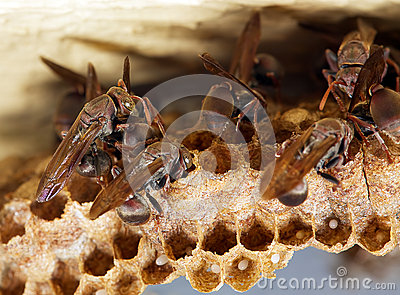 Busy wasps