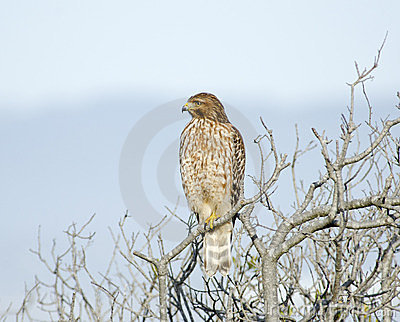 Buteo lineatus, Red Shouldered Hawk