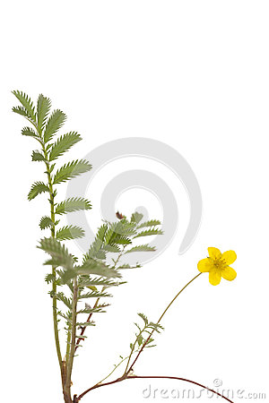 Free Buttercup Royalty Free Stock Photography - 25455287