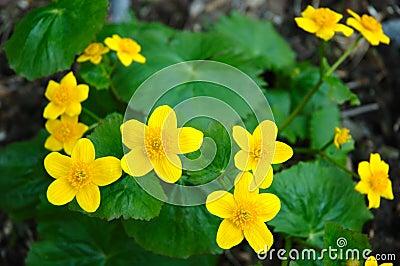 Buttercup flower.