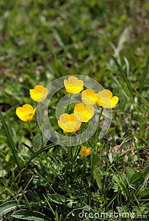 Buttercup flowers