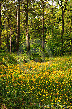 Free Buttercup Meadow Royalty Free Stock Photo - 137565