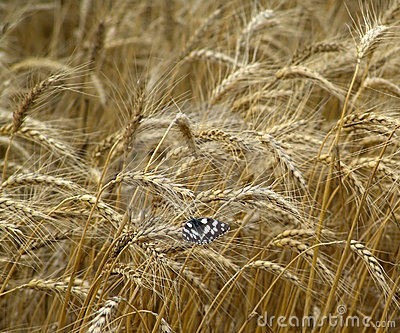 Butterflie on the field of wheat