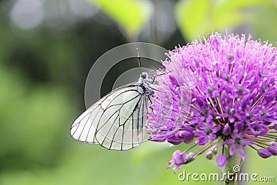 Butterflies. Flower.
