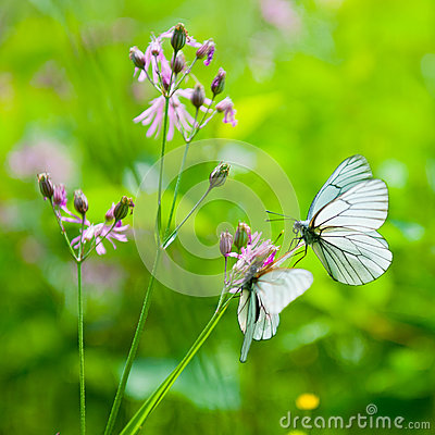 Butterflies on the flower