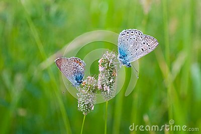 Butterflies on herb