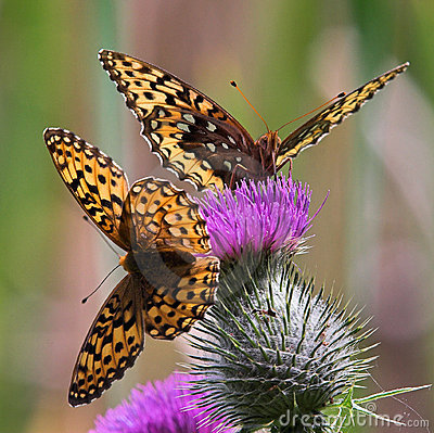 Free Butterflies On Thistle Stock Images - 4005014