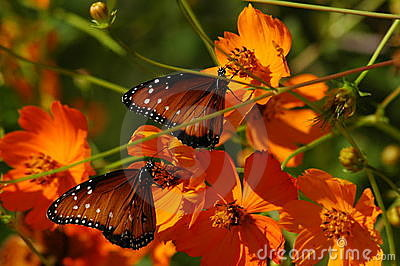 Butterflies on Poppies