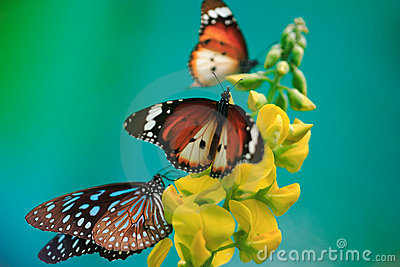 Butterflies with yellow flower on turqoise backgro