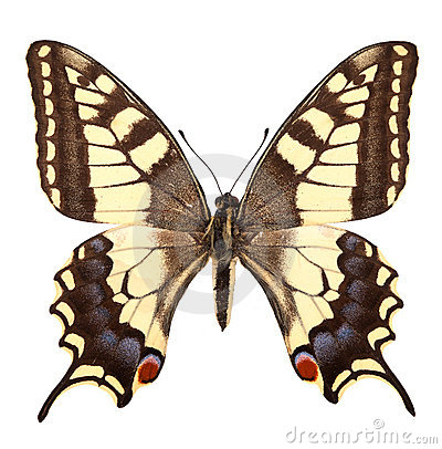 Free Butterfly Royalty Free Stock Photo - 16620135