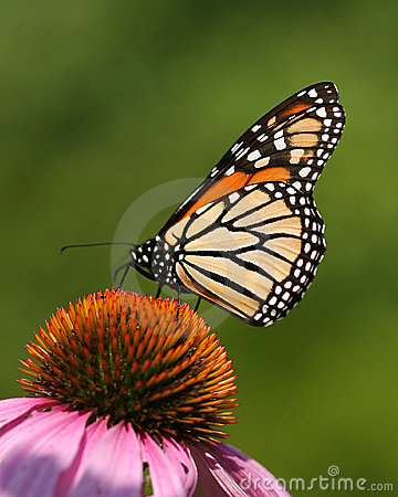 Free Butterfly Royalty Free Stock Images - 3062579