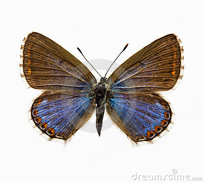 Free Butterfly - Adonis Blue Stock Photos - 12380153