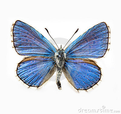 Free Butterfly - Adonis Blue Stock Photos - 12380163