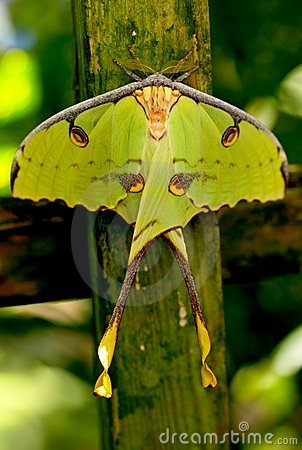 Free Butterfly African Moon Moth. Shallow DOF Stock Photo - 19420640