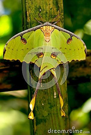 Butterfly African Moon Moth. Shallow DOF