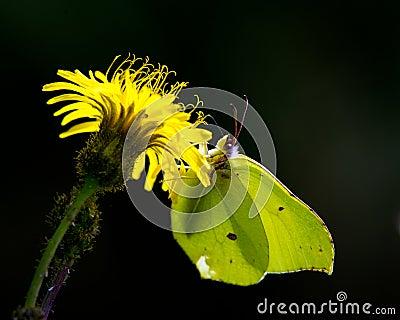 Butterfly against the light (Gonepteryx rhamni)