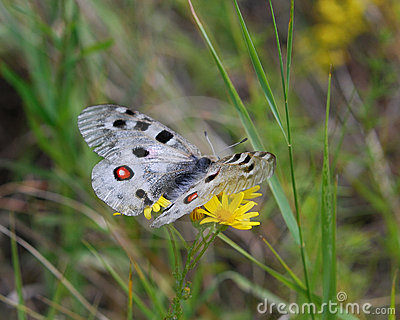 Butterfly Apollo