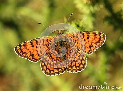 Butterfly (Argynnis adippe)