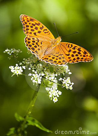 Free Butterfly  (argynnis Paphia) Stock Photo - 15708900