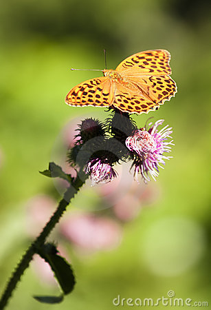 Free Butterfly  (argynnis Paphia) Stock Photo - 16070780