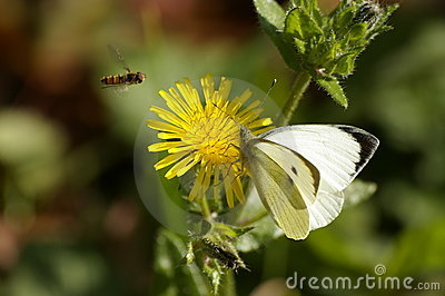 Butterfly, bee ,yellow flower