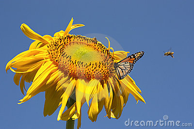 Butterfly and bees on a sunflower