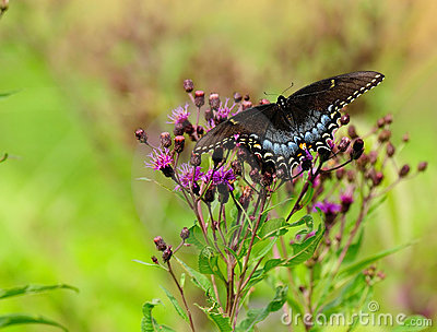 Butterfly Black Swallowtail and flowers