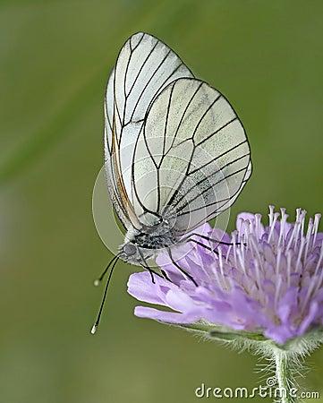 Butterfly - Black-Veined White, Aporia crataegi,