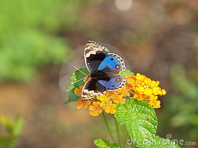 Butterfly - Blue Pansy, Closeup