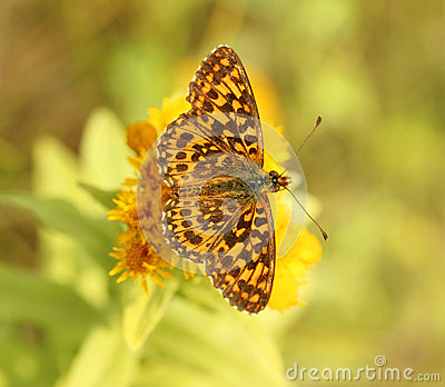 Butterfly ( Boloria dia)