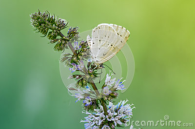 Butterfly on a branch of mint Stock Photo