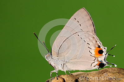 BUTTERFLY ON BRANCH,  Pratapa deva