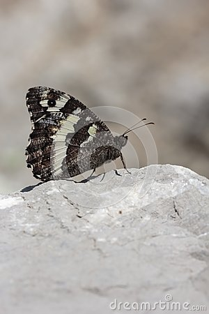 Butterfly  brintesia in Camargue