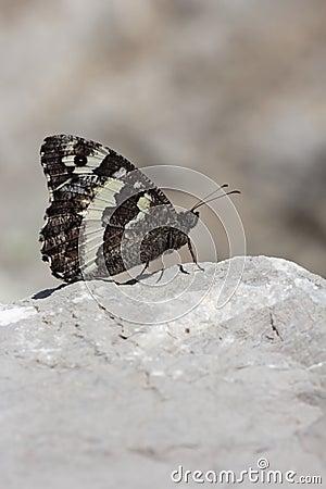 Butterfly  brintesia in Camargue