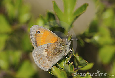 Butterfly Brown heath