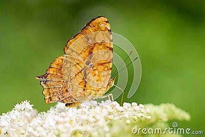 Butterfly (butterfly series)