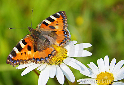 Butterfly & camomiles