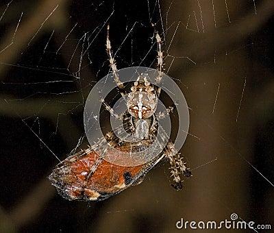 Butterfly caught by garden spider