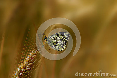 Butterfly on cereals