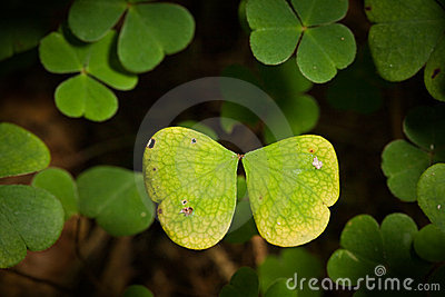 Butterfly of Clover Leafs