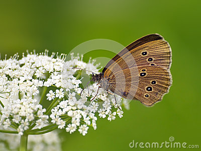 Butterfly (Coenonympha) on white flower