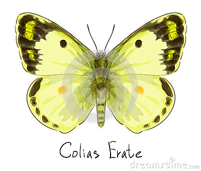 Butterfly Colias Erate.