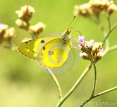 Butterfly (Colias erate)