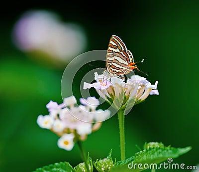 Butterfly Common Silverline Spindasis vulcanus