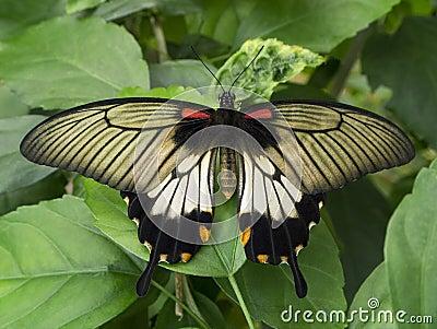 Butterfly - Crimson Mormon - Bali - Indonesia
